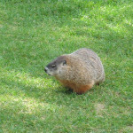 The Almost Demise of a Woodchuck