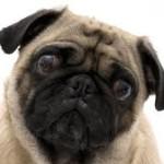 upset pug
