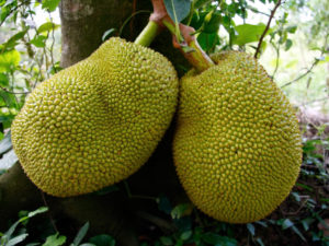 Next Time I'll Declare Jackfruit