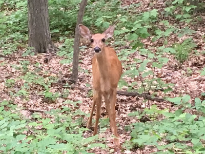 Deer Are Fearless This Time Of Year >> The Fearless Deer Of Pokagon Humoroutcasts
