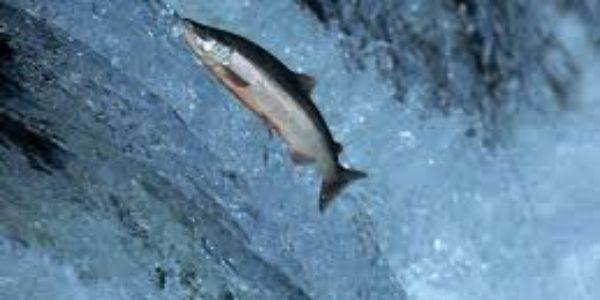 An Alaskan Horror Story – The Revenge of the Salmon