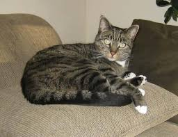 Image result for grey tabby