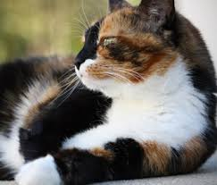 Image result for orange tabby and calico